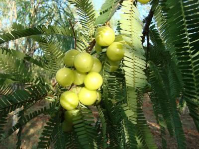 Indian Gooseberry aka Amla.  Photo from www.GoGreenGuyz.com